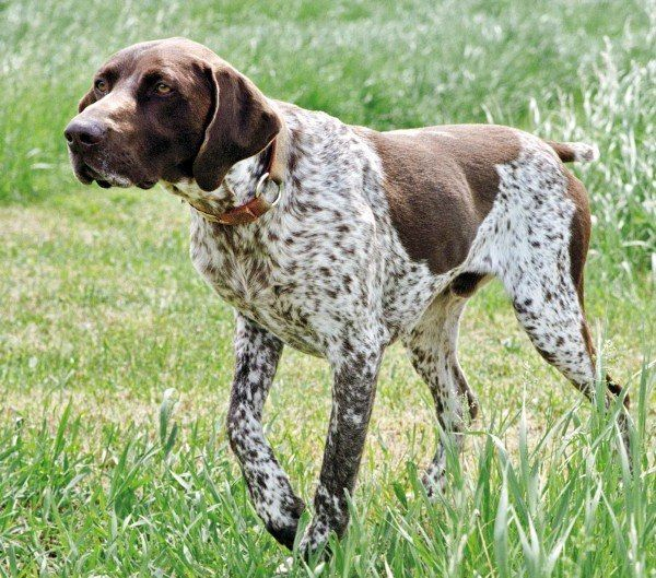 Курцхаар и Дратхаар | Охотничьи собаки