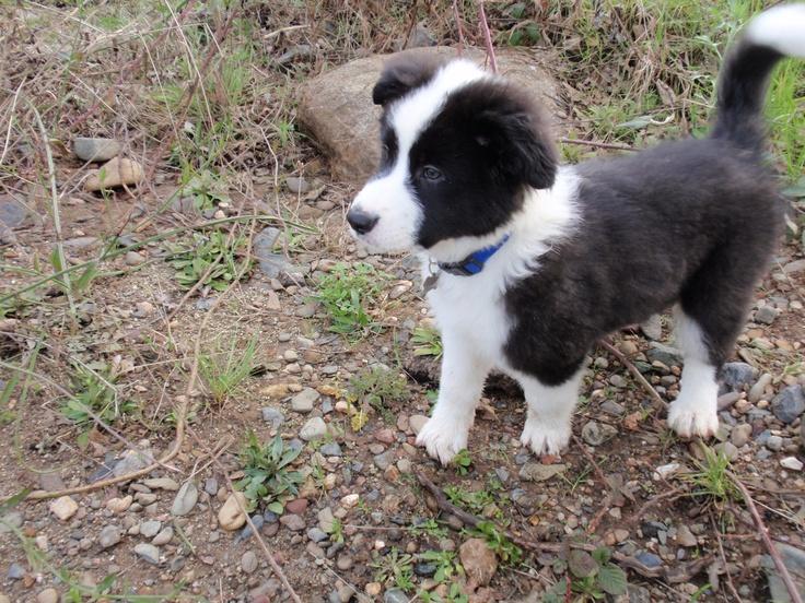 my border collie/German shepherd/Australian shepherd mix
