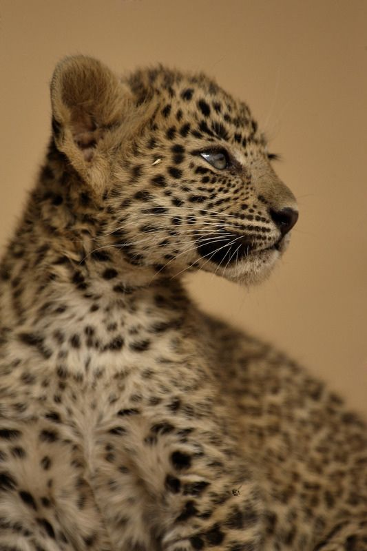 #leopard - Leopard cub in Ranthambhore tiger reserve in north Indian state of Rajasthan
