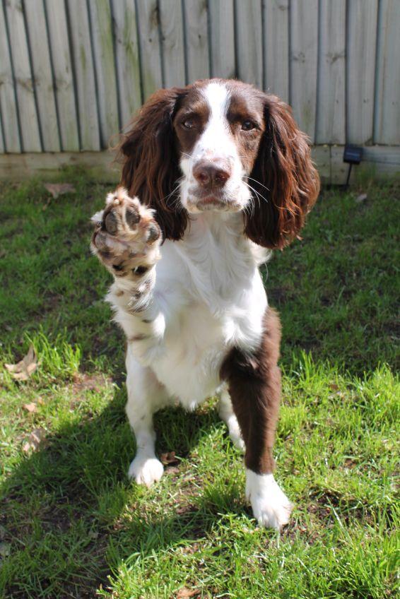 English Springer Spaniel - Stop in the name of love!