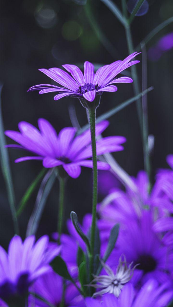 Garden Flowers Purple Daisy Bloom 720x1280 Wallpaper Purple
