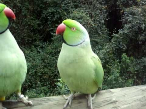 http://www.petcarevision.com/Parrot/parakeets.php