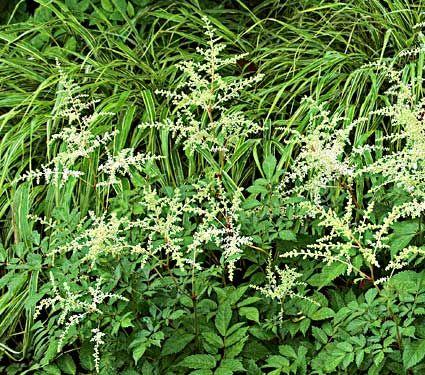 Astilbe x arendsii Bridal Veil - White Flower Farm