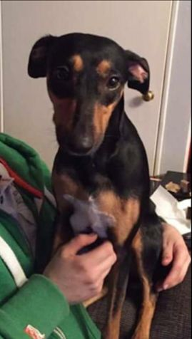 Lola is a 3 year old female Manchester Terrier cross Whippet who is looking for a home due to owner being homeless. She's in foster with other dogs and thinks s ...