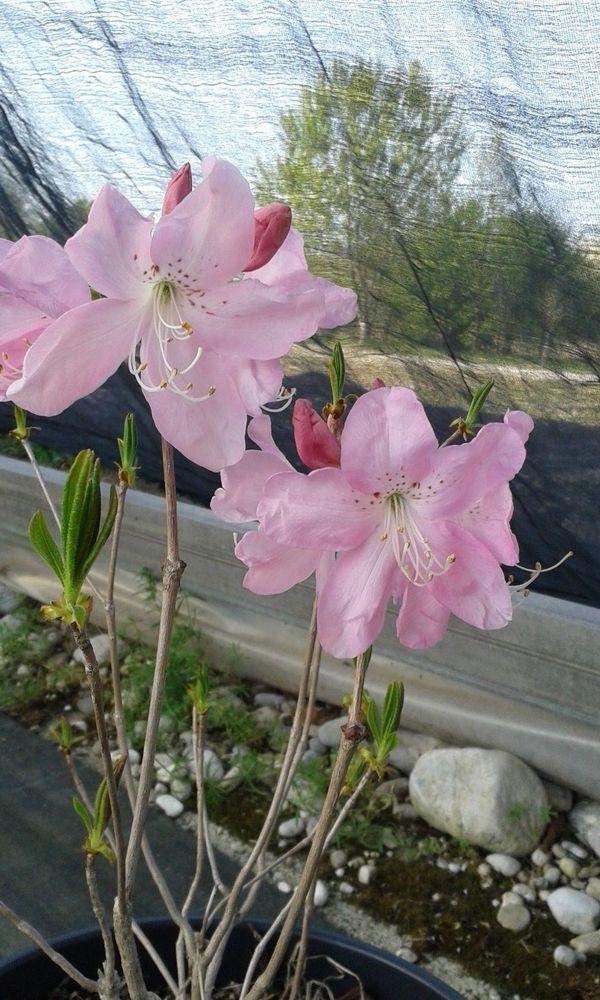 """azalea/rododendro da giardino """"Rodh. Schlippenbachii"""""""