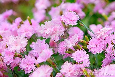 Roze Anjer Stock Afbeeldingen - Beeld: 10824164