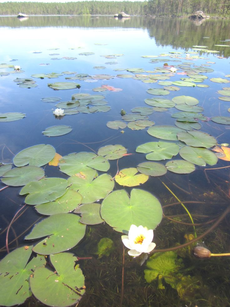 Waterlilies in Salamajärvi National Park in Kivijärvi #salamajaervinationalpark #summer #kivijaervi