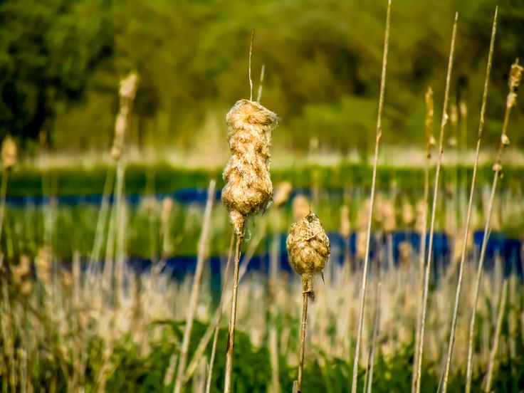 Old Typha by Felikss Veilands on #500px #irelandphotography #photo #reed