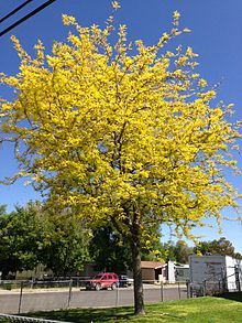 """""""The honey locust is popular with permaculturalists across the globe, for its multiple uses. The legumes make a valuable, high protein cattle fodder [or human food to medicine. B]road shade of the tree canopy is of great value[…] It is also claimed to be a nitrogen fixer, by way of rhizobium, [benefiting] soil & plants. The durability & quality of the timber, [&] ability to produce its own nails, fits the paradigm of self-sustaining agriculture that requires fewer external inputs/resources."""""""