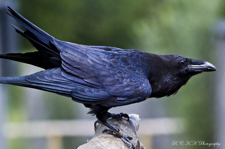 search video raven