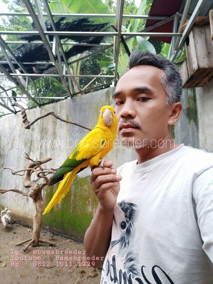 Golden Conure Hewan Peliharaan Mamalia