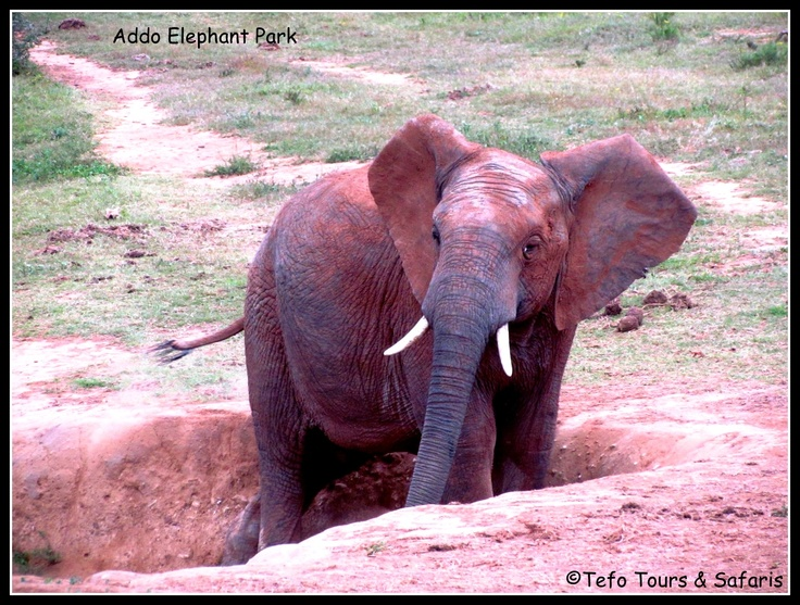 Addo Elephant Park South Africa  Join Tefo Tours on their Garden Route Tour and experience the beauty   for yourself!