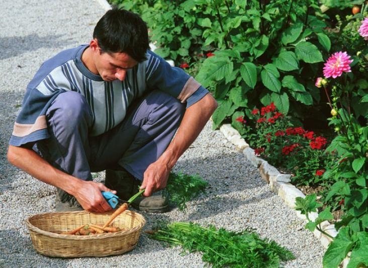 Récolter et conserver la carotte