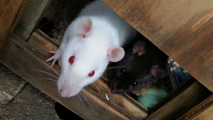My family has 4 pet rats