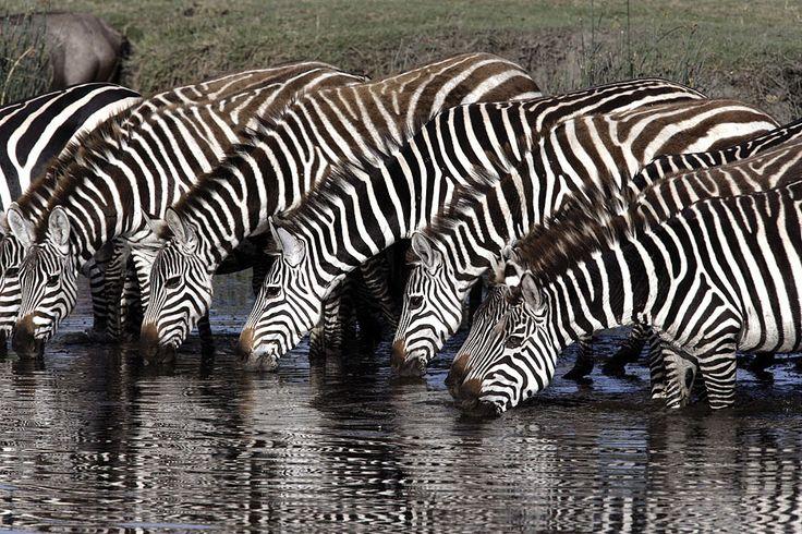zebra photos and images   Plains Zebra   Lynx Edicions