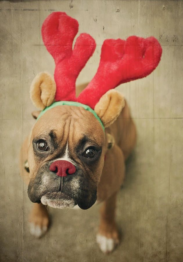 """Rudolph"" Hollie your puppies would look sooo cute like this!!!"