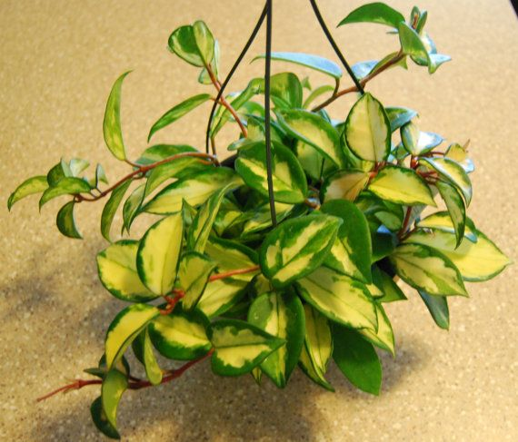 17 best images about house plants on pinterest hindus wandering jew and hanging planters - Green leafy indoor plants ...