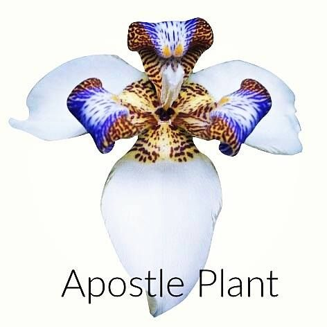 Apostle Plant... Brings balance in life-style and attitudes. Assists in moving forward gracefully in one's life and walking one's talk Helpful when going through major life transitions, benefits agility and flexibility