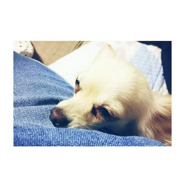 😪 #愛犬 #犬 #いぬ #わんこ #ペット #pet #petstagram #instapet #dog #dogstagram #instadog #doglover #instagramjapan #japan #animal #closeup #up #face #sleepy #night #foot #mydog #mixdog #ミックス犬 #チワックス #チワワ #ミニチュアダックスフンド #動物 #寝顔 #アップ
