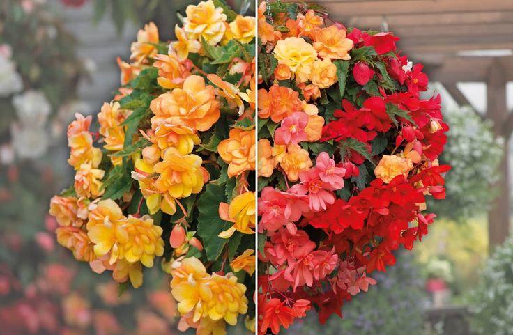 Buy Trailing Begonia Plants online | Unwins