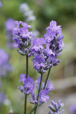 Lavender Blue Cushion
