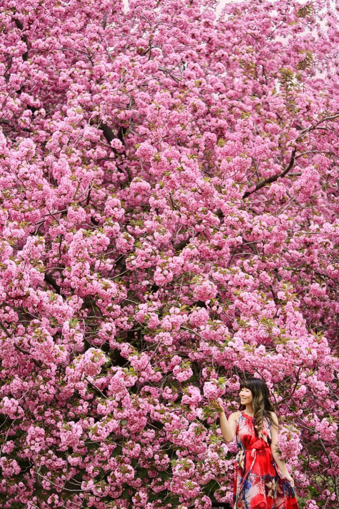 Best Places To See Cherry Blossoms In Nyc Places To See Nyc Tourist Attractions Brooklyn Botanical Garden