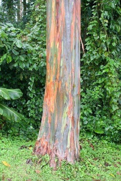Радужный эвкалипт - самое красочное дерево на Земле - Путешествуем вместе
