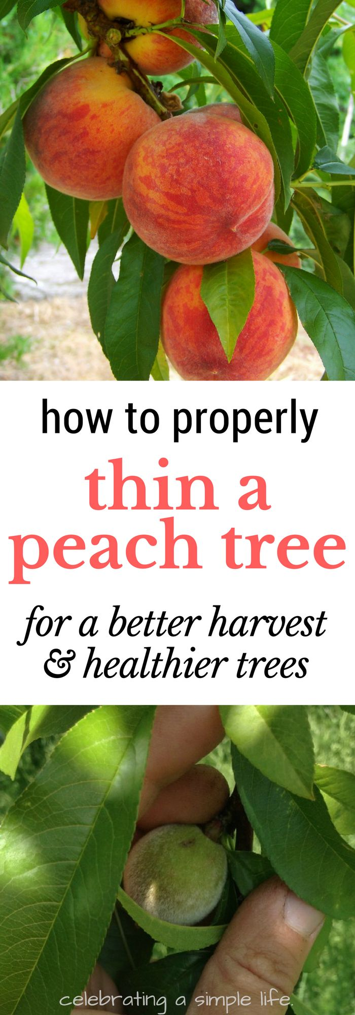 Did you know that peach trees really MUST be thinned for the best harvest, and also for the health of your peach tree? Here's how to do it! #gardening #orchard #permaculture #homesteading #farming