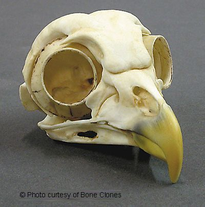 Owl Skull, Barred (Replica)  Strix varia