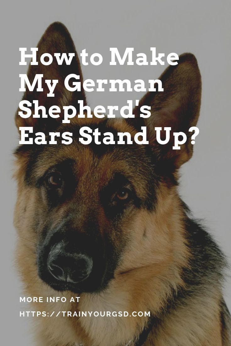 how to make my German Shepherd\u0026#39;s ears stand up? # ...