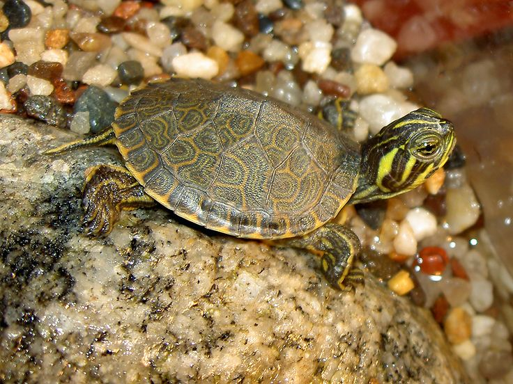 yellow bellied slider | Yellow Bellied Sliders – Why This Breed Makes a Great Pet!