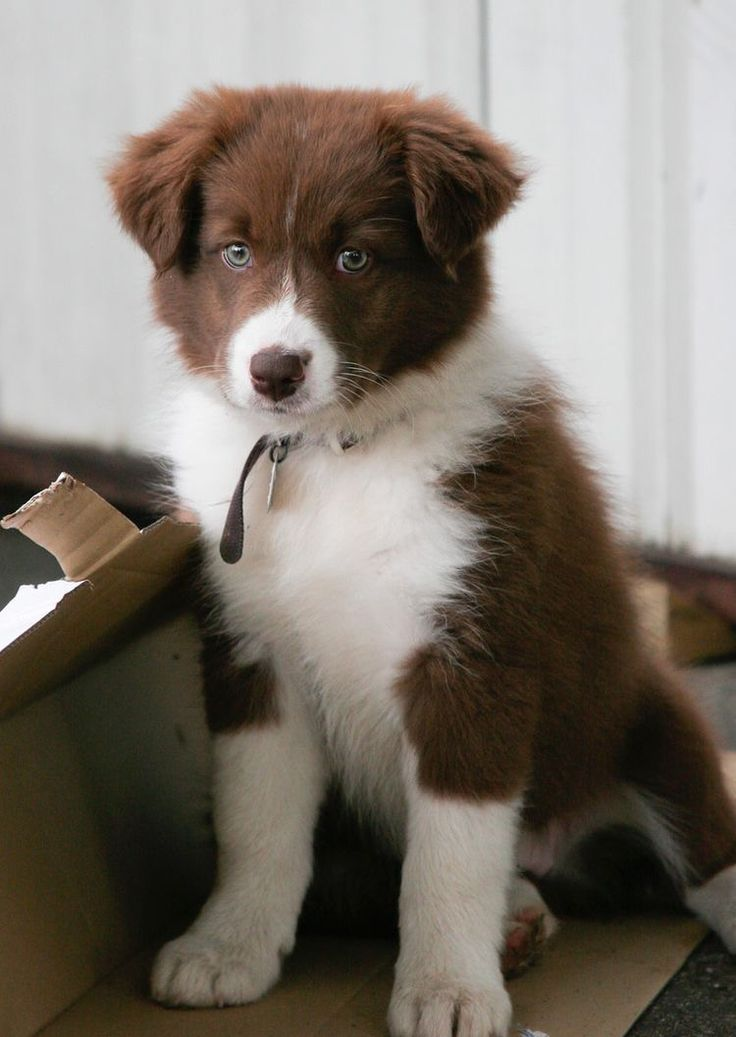 D B Farm Border Collies Australian Shepherd - ...