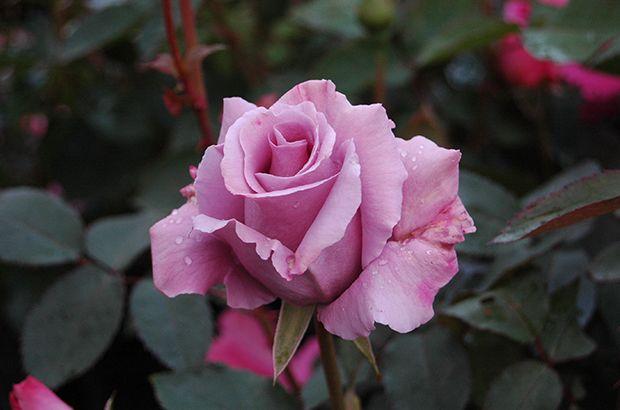 Blue Nile Hybrid Tea Rose | ブルー ナイル – Blue Nile