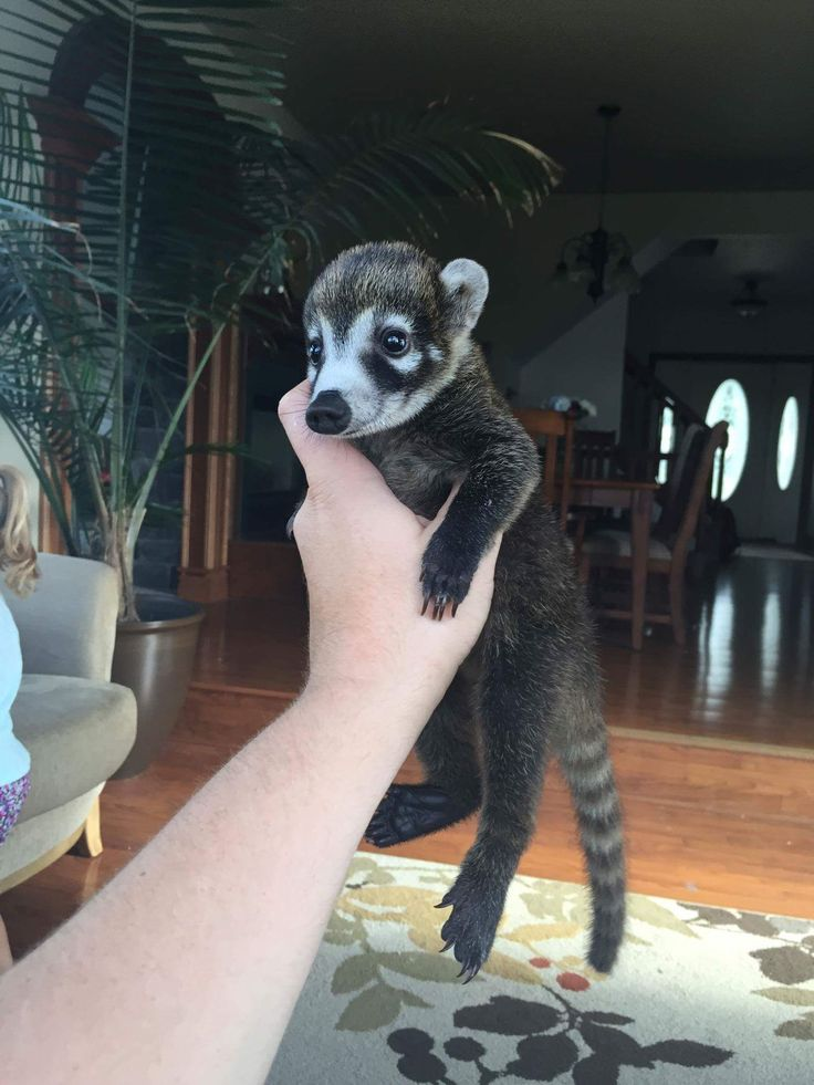 Yes you can have a white nose coatimundi as a pet in various states. http://ift.tt/2ahuBYf