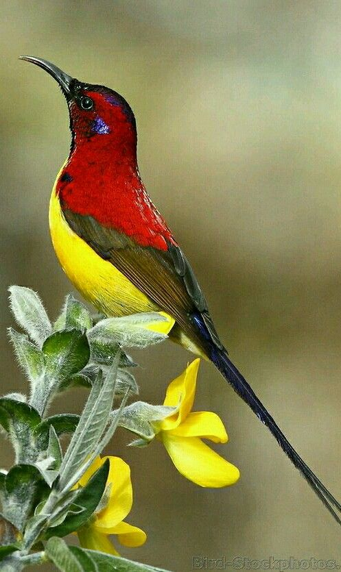 Exotic birds - Mrs. Gould's Sunbird is such a beauty. Lives in tropical or subtropical forest in Asiaian nations. - from Bird-Stockphotos