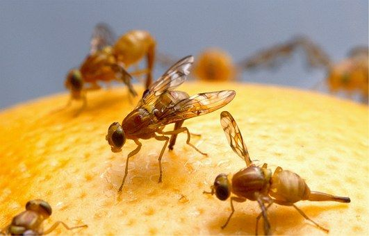 Fruit Flies Those Annoying Little Buggers How To Get Rid Of Them Fruit Flies Fruit Fly Trap Fly Traps