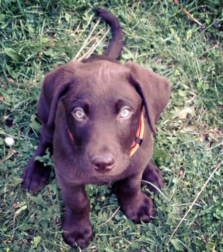 Mud the Labrador Retriever-Handsome Choclate lab!  I seriously have a pic of my choc lab as a puppy that is exactly the same as this one.  super weird