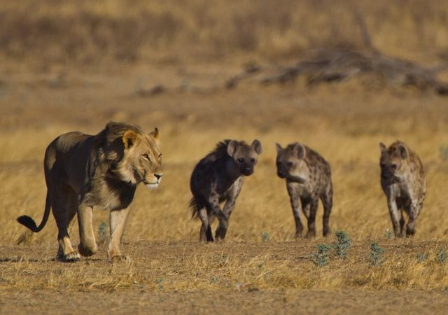 Hyenas and Lion by Wayne Marinovich | Hyaenidae ...