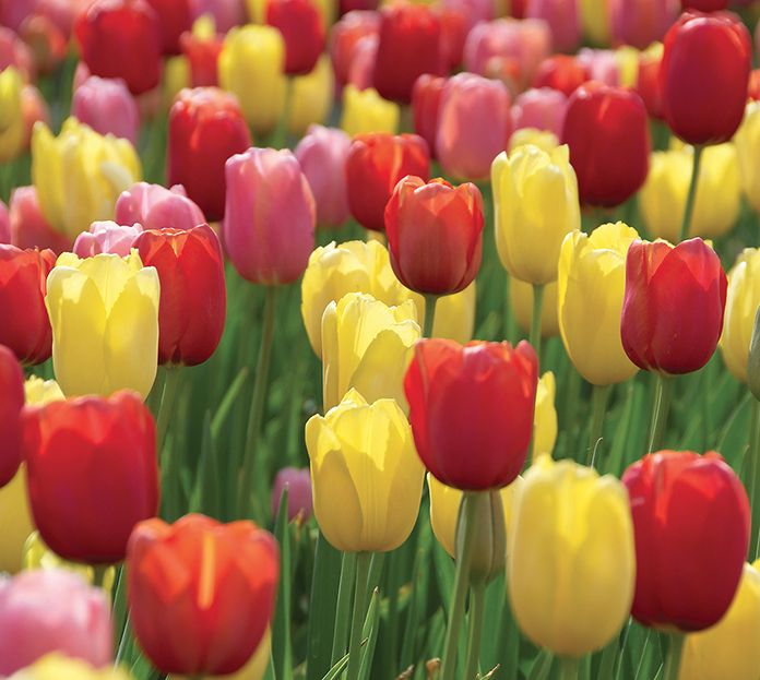 50 tulip bulb caribbean sunset blend mid season blooming for What season are tulips
