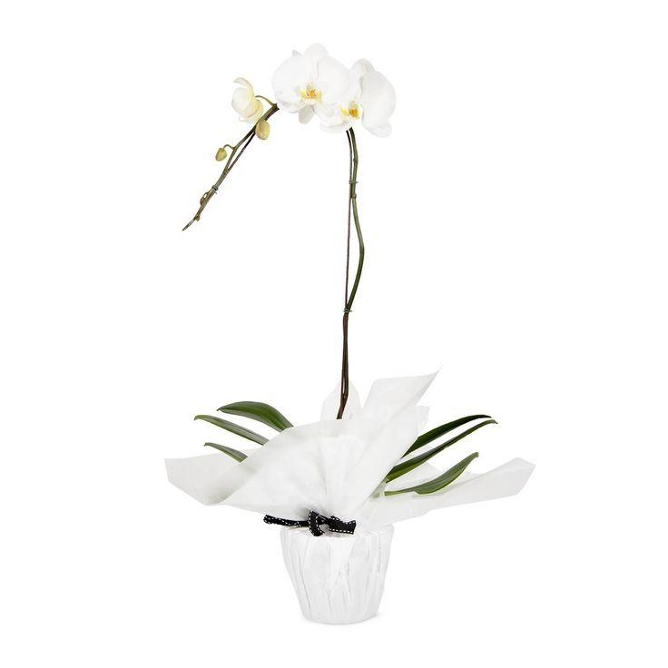 1 Spike Phalaenopsis Orchid Plant