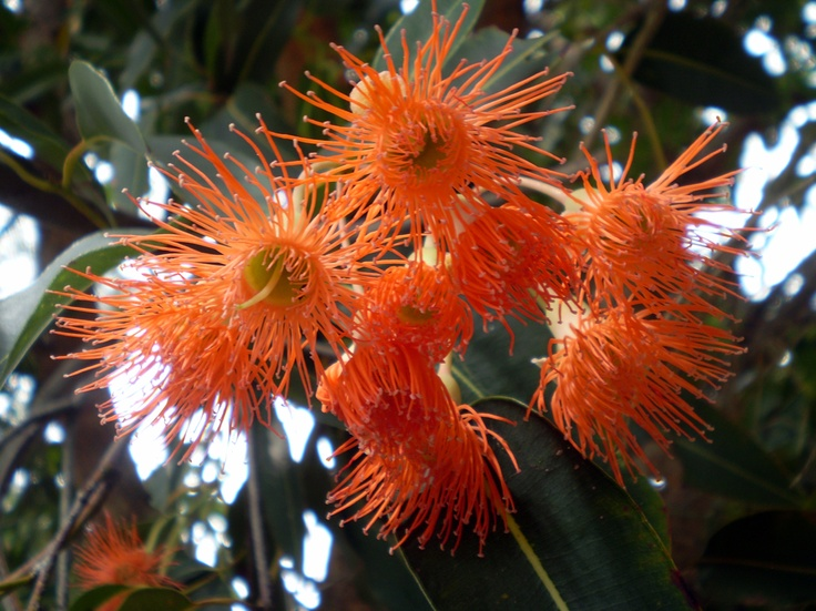17 best images about flowering gum on pinterest