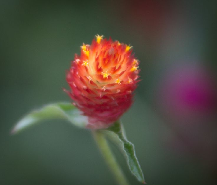 Blooming red #africa