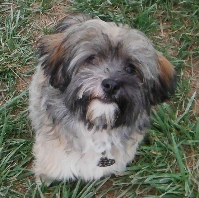 D 1178 Havashire Yorkshire Terrier Amp Havanese