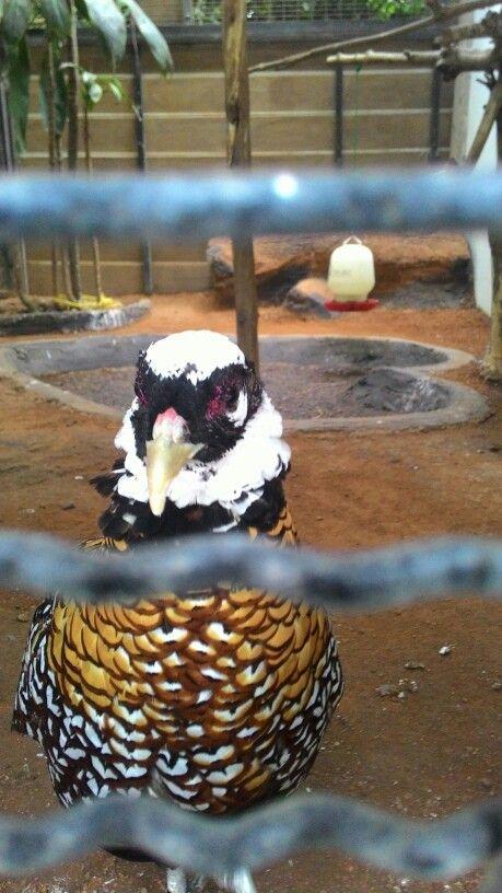 Ayam cantik