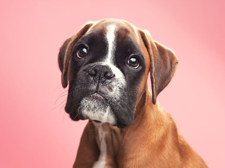 A boxer named Cohen (after Leonard Cohen) by Ole Kirknes
