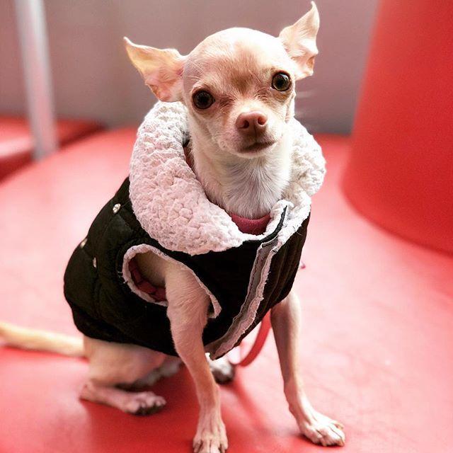 Edie The Chihuahua Cute Chihuahua Puppy Small Dog Funny Chihuahua Chihuahua Funny Chihuahua Puppies Cute Dog Clothes