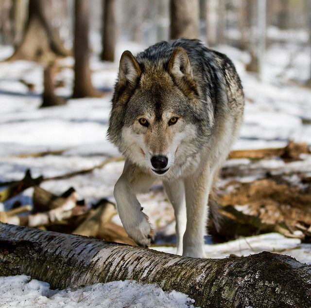 Wolf from the Muskoka Wildlife Centre by Christopher Brian's Photography