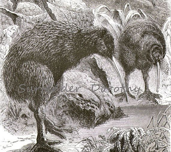 Kiwi Bird Apteryx New Zealand Victorian Ornithology 1870s Black & White Natural History Engraving To FrameVintage Treasure, Andre Martinaglia, White Nature, Black White, Ornithology 1870S, Zealand, Nature History, Kiwi Birds, Birds Apteryx