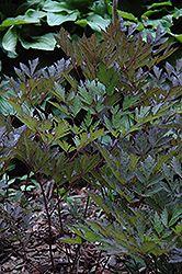 ... In Grand Rapids Cohasset Hibbing Itasca Coleraine Minnesota MN At  Bloomers Garden Center U0026 Landscaping (Black Snakeroot, Black Cohosh, Actaea  Racemosa)