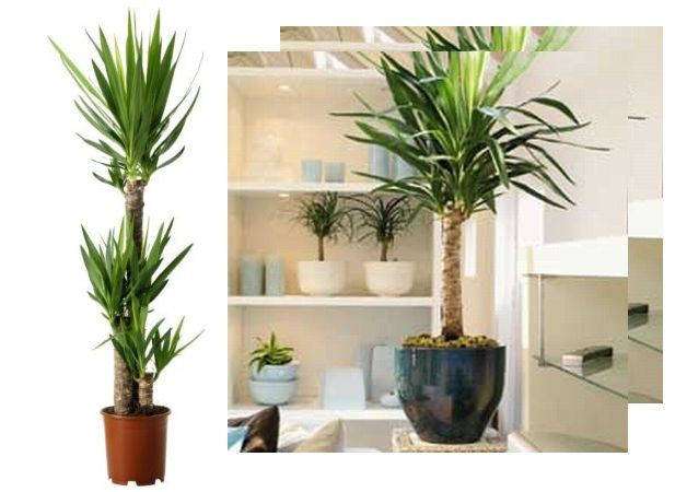 79 best flori si plante de apartament images on pinterest for Plante yucca